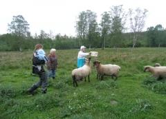 Schafe angucken