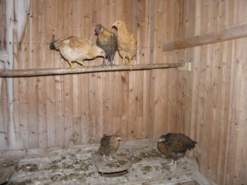 Zuwachs im Hühnerhaus