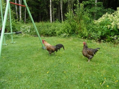 Geduschte Hühner