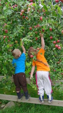 Äpfelpflücken