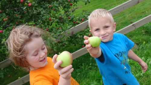 Äpfelpflücken 2