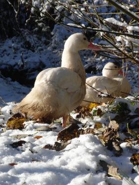 unsere Enten im Schnee