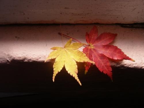 Herbstlaub aus dem Nachbargarten